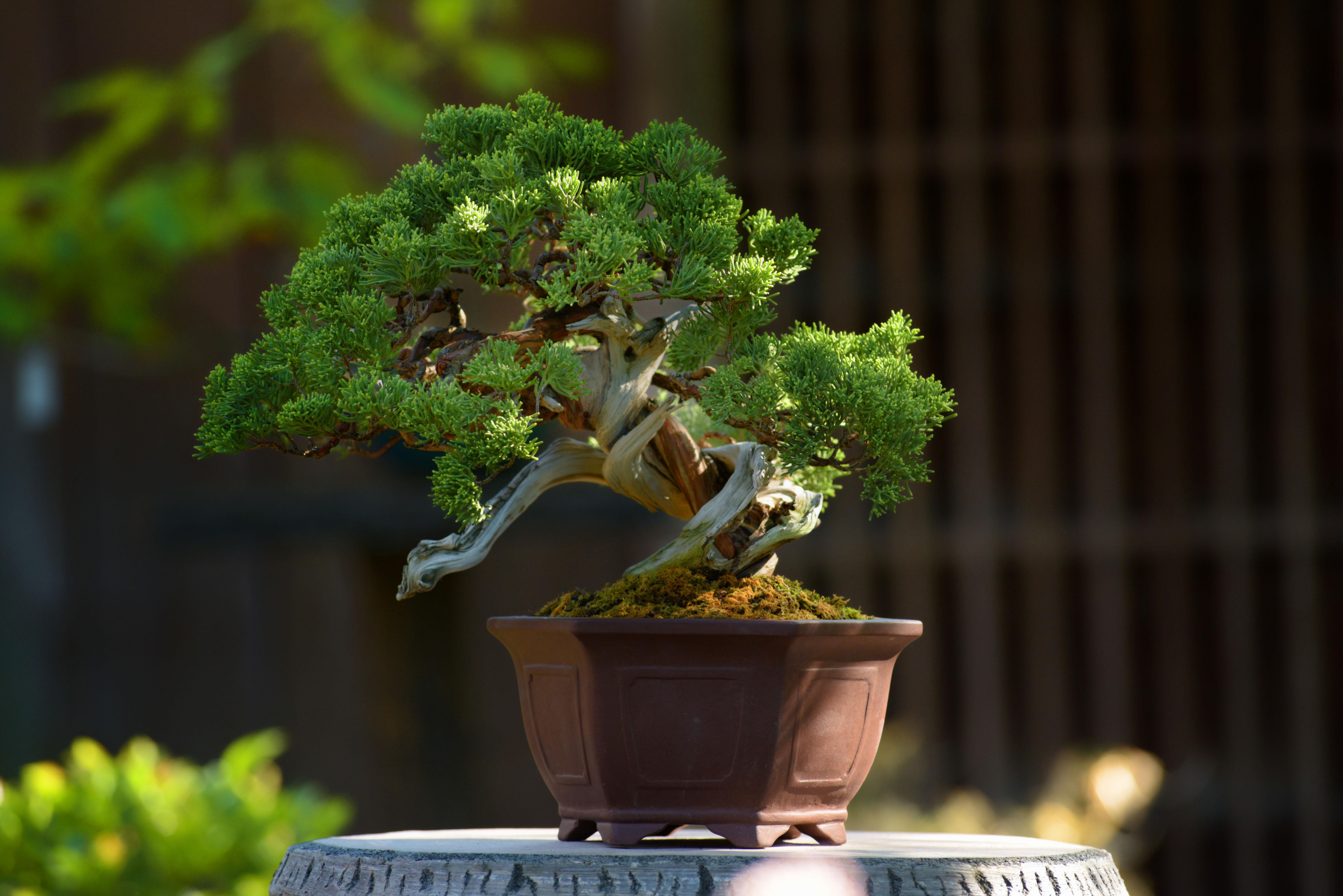 値段 桜の 盆栽